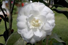 White Camellia (derciofernando) Tags: brazil white flower home nature beauty brasil canon garden focus camellia inverno autofocus camlia canonlens cano70d