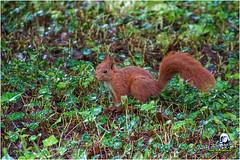 "Ecureuil du jardin ""2016"" (Christian Labeaune) Tags: 2016 faune poils chatillonsurseine21400 bourgognectedor france christianlabeaune chtillonnais jardin cureuil"