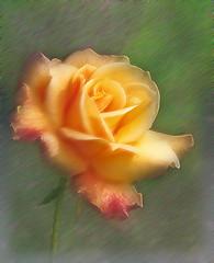/ Sehnsuch / Nostalgia (swetlanahasenjger) Tags: macro rose yellow memory    simplysuperb saariysqualitypictures