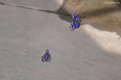 Float like a butterfly (Nikon~Dolll) Tags: nature butterfly flying inflight captured may butterflies floating battle 2016 royalblue mysceliacyaniris jenlockridge may2016 butterflybattle