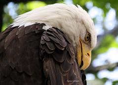 1-IMG_2404 (hemingwayfoto) Tags: amerika auge schnabel schwarz tierauge wappenvogel weis weiskopfseeadler