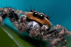 Adult Male Platycryptus undatus Jumping Spider (Douglas Heusser) Tags: macro nature up canon photography spider photo jumping close wildlife arachnid tubes extension arthropod platycryptus kenko undatus heusser