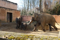 Five-legged elephant (unnamedcrewmember) Tags: baby elephant animal animals fauna penis zoo tiere running run hannover horny elefant tier rutting erlebniszoo