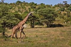 Giraffe 9-104 (Grete Howard) Tags: golkopjes kopje serengeti tanzania safari safariinafrica bestsafarioperator bestsafaricompany whichsafaricompany whichsafarioperator animals animalphotos animalsofafrica africa africansafari africanbush africananimals animal birds birdwatching birding gamedrive