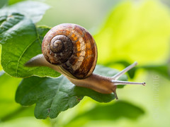 Coquille d'escargot (cani7575) Tags: macro leaf oak snail escargot feuille chne 45mmf28