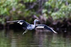 Incoming Little Blue (Michael R Hayes) Tags: bird heron florida wildlife birding fl citruscounty littleblueheron chassahowitzka