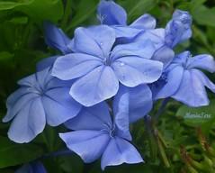 Jazmines ... (MariaTere-7) Tags: parque flores de francisco venezuela caracas miranda azules jazmines generalsimo maratere7