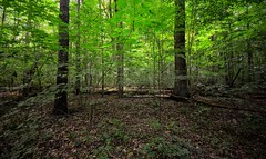 Two large trees (mswan777) Tags: park summer green nature leaf woods nikon hiking michigan scenic deep sigma peaceful trail tall 1020mm d5100