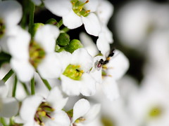 035A2981 (damianbuck54) Tags: flowers white sweet insects alyssum