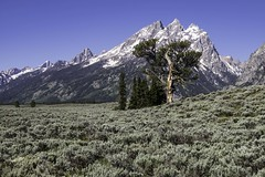 Patriarch Tree, Grand Teton National Park (HDRob) Tags: patriarchtree grandtetonnationalpark grandtetons tree landscape mountains snow sagebrush
