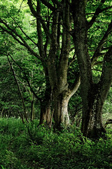 Shambleton Wood, Gauldry (Stan Farrow Photography) Tags: wood woodland trees beech forest wild green gauldry shambletonwood