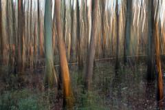 "wetland blur (""One who sits by the fire"") Tags: sunset blur nature forest outdoor hiking tennessee wetlands pan icm natureconservancy intentionalblur rossville baldcypresstrees verticalpan blurphotography intentionalcameramovement hikingthroughthewetlands williambclarknaturepreserve"