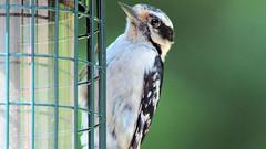 Hairy? (blazer8696) Tags: 2016 brookfield ct connecticut ecw obtusehill t2016 usa unitedstates female img9038 picidae piciformes picoides woodpecker