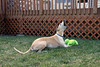 Throwing a Fit (DiamondBonz) Tags: dog pet hound whippet froggy fit howl spanky