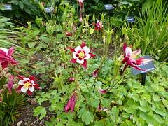 Aquilegia P1020972 (LesD's pics) Tags: flowers blossom aquilegia blooms crimsonstar