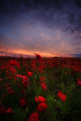 in the field (Rainer Schund) Tags: sunset nature field landscape abend nikon sonnenuntergang natur poppy landschaft mohn mohnfeld nikond700 naturemasterclass natureexploring