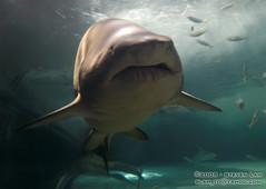 DSC_8353 (slamto) Tags: australia sydneyaquarium sydneysealifeaquarium shark