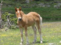 P1000242 (Franois Magne) Tags: cheval libert poulain jument blond blonde bai frange montagne etang lanoux estany de lanos lac pyrnes