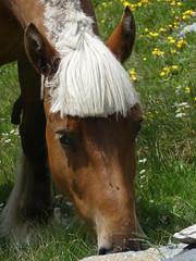 P1000248 (Franois Magne) Tags: cheval libert poulain jument blond blonde bai frange montagne etang lanoux estany de lanos lac pyrnes