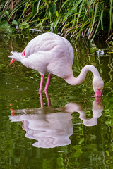Flamingo reflection (Meg4mi) Tags: wild bird water birds animal reflections pentax wildlife reflects k1 pentaxart