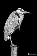 Grey Heron (Birds Of Amsterdam) Tags: white black heron amsterdam birds contrast grey high clarity ardea blauwe reiger frankendael cinerea