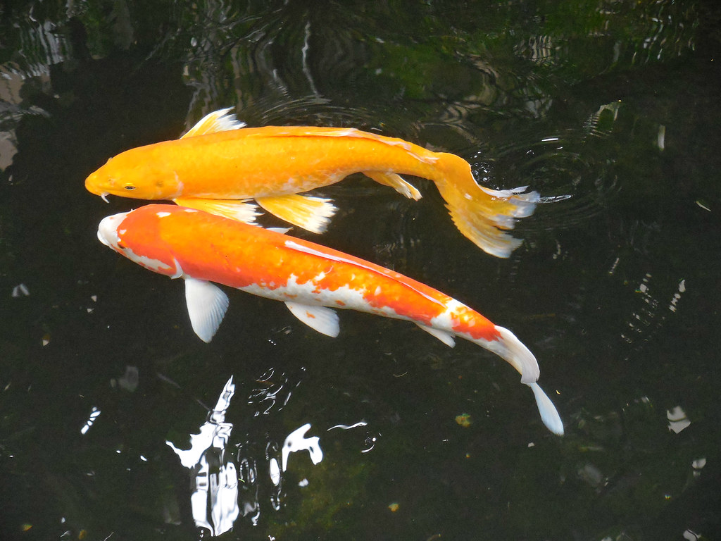 The world 39 s best photos of koi and koifish flickr hive mind for Blue and orange koi fish