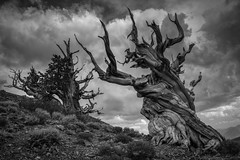 Twisted Sisters (Eric Gail: AdventuresInFineArtPhotography) Tags: ericgail 21studios canon canon70d 70d explore interesting interestingness photoshop lightroom landscape nature infocus adjust california photo photographer ca cs6 picture he bristlecone schulmangrove inyo