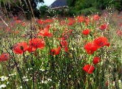 2016-07-07 aquarelle poppy field 6 (april-mo) Tags: poppy poppyfield redpoppy coquelicot redflower art flower fleurs field wheatfield champdebl
