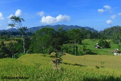 Ricefields around Muncan, Karangasem, Bali (Sekitar) Tags: bali indonesia landscape island asia ricefields pulau sawah pemandangan karangasem muncar earthasia