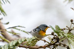 Northern Parula (BrendanMcGarry) Tags: texas birding southpadreisland birdwatch northernparula parulaamericana 2013 brendanmcgarry seattleaudubon wingtriporg