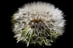 Extensions (GRO Photography) Tags: macro structure dandelion puffball