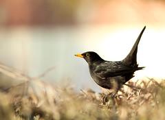 Aux aguets (Milian Pique) Tags: france noir merle oiseau nord sauvage mle passereau