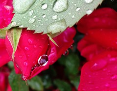 IMG_0463 (Lord Walt) Tags: city flowers red usa flower reflection green apple nature water leaf airport littlerock peaceful explore raindrops daytime arkansas tranquil cellphonephoto pulaskicounty centralarkansas iphone5 centralflyingservice waltphotos lordwalt