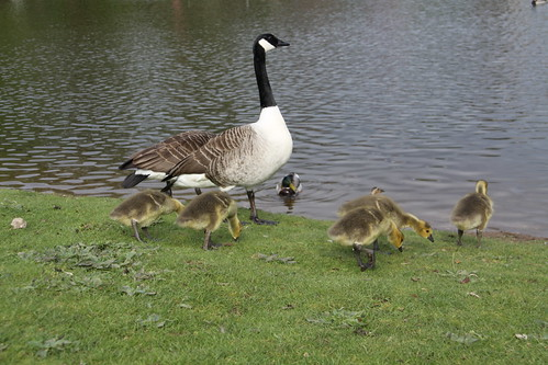 Pair of Canada Geese with 7 Goslings (8)