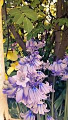 Bluebells (Hummingbird's view) Tags: trees iris london nature bluebells buildings spring flora sunbeams randomlondon flowersinlondon flowersmobileuploadslight