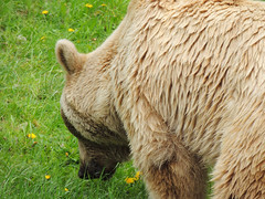 Brown Bear (MarkusR.) Tags: bear animal germany zoo stuttgart predator botanicalgarden tier br braunbr brownbear wilhelma ursusarctos badenwrttemberg badenwuerttemberg zoologicalgarden 2013 raubtier markusrieder mrieder 20130502np5023