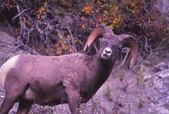 IMG_0068 (Rock Rabbit Photo) Tags: scans sheep horns bighorn rams slides