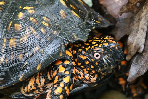 Eastern Box Turtle - Terrapene carolina carolina - Brown County, Indiana, USA - May 18, 2013