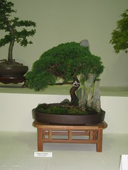 Chinese juniper (Bonsaigirl) Tags: scotland display gardening bonsai caledonian 2013