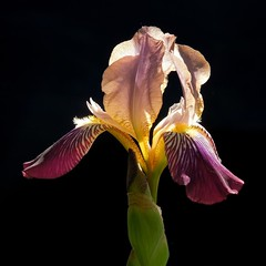 spotlight on IRIS (milomingo) Tags: iris flower nature floral closeup outdoors petals spring bloom horticulture