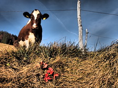 The curious cow - Valsaintes - Switzerland (Herv Platteaux) Tags: mountain landscape switzerland cow 2012 gruyres