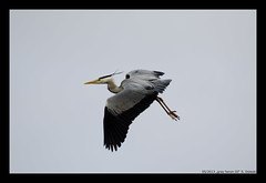 gray heron III (xlod) Tags: vacation bird heron nature netherlands animal urlaub natur grayheron tier vogel niederlande reiher julianadorp graureiher