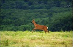 Reh (Lutz Koch) Tags: wild pentax deer roedeer reh idstein k7 elkaypics