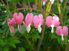 Bleeding Hearts (Clara Hinton) Tags: heart blooms transparent bleedinghearts