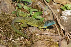 Western Green Lizard (Lacerta bilineata) (piazzi1969) Tags: italy nature wildlife lizards trentino reptiles herps valsugana roncegno lacertabilineata