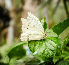 White Butterfly (Shadman Samin) Tags: seattle white color green eye animal butterfly photography edited exotic environment portlandoregon perfection elegance picaresque seattlewashington
