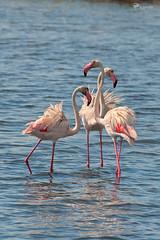 Flamingo's Tris (Rob McFrey) Tags: sardegna fauna phoenicopterusroseus cagliari avifauna capoterra fenicotterorosa santagilla
