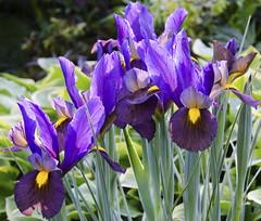 Purple Iris (Clara Johnson) Tags: iris vancouver bc stanleypark