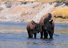 Hayden Valley Bison Cow and Calf in Yellowstone River- 9303b+ (Teagden (Jen Hall)) Tags: park fall water photography cow buffalo nikon wildlife national valley yellowstonenationalpark yellowstone hayden calf bison yellowstoneriver rivercrossing 2012 ynp haydenvalley yellowstonepark wildlifephotography jenniferhall