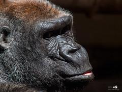 La mirada (Foto Luis Santiago) Tags: africa animal selva tigre gorila leones cabarceno salvaje salvalje